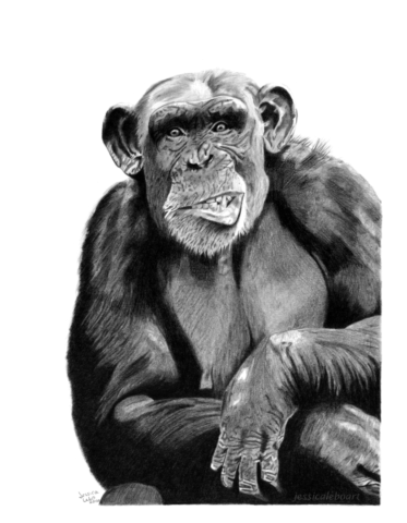 fine art graphite pencil animal drawing chimpanzee