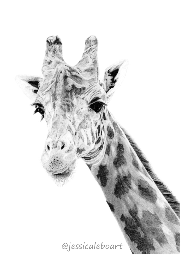 graphite pencil animal drawing giraffe