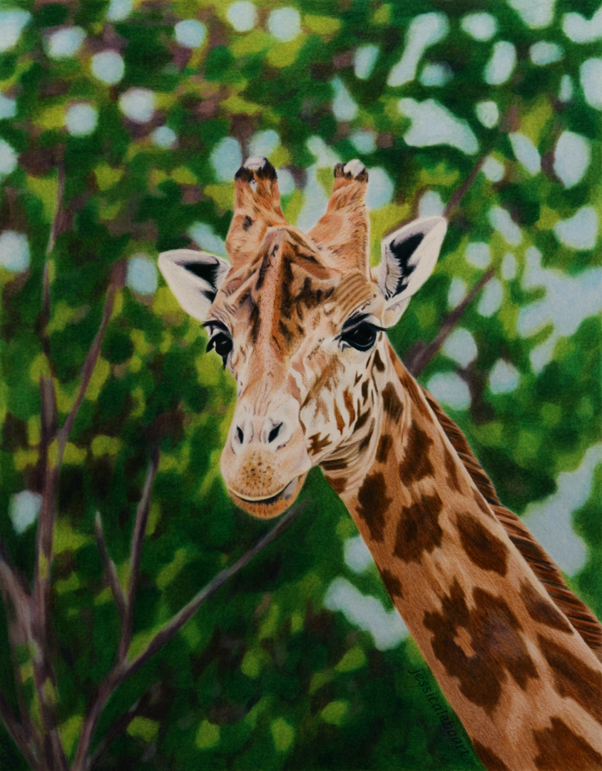 fine art colored pencil animal drawing giraffe
