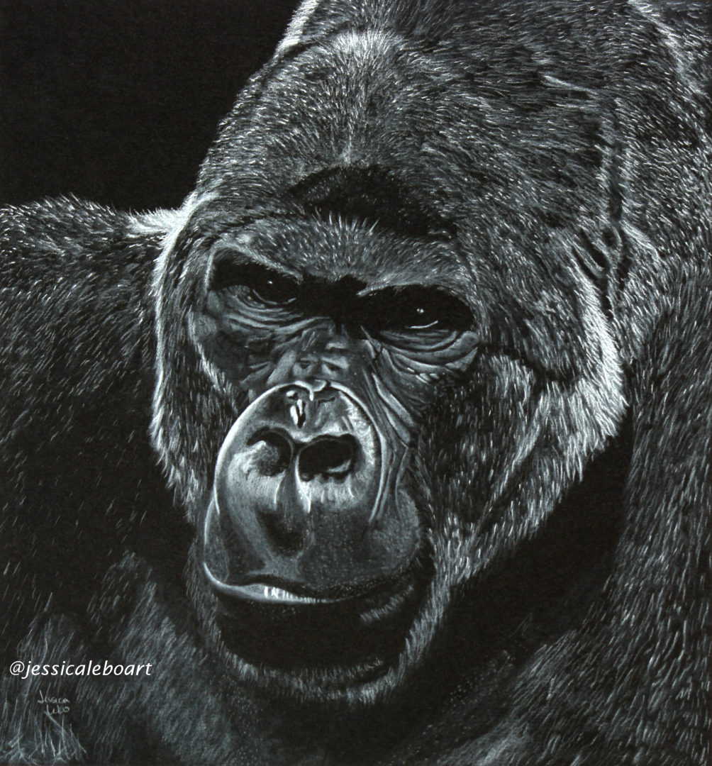 fine art white charcoal pencil drawing on black paper animal gorilla