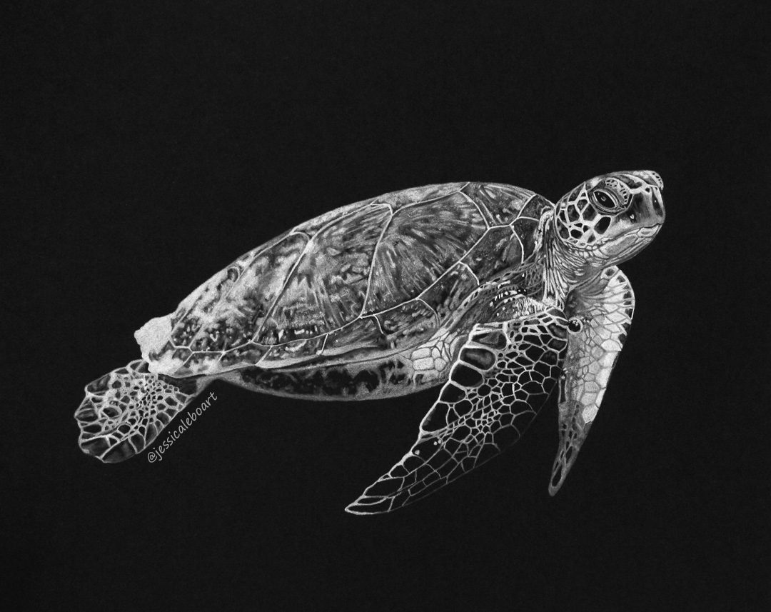 fine art white charcoal pencil drawing sea turtle on black paper