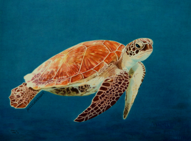 fine art colored pencil drawing sea turtle
