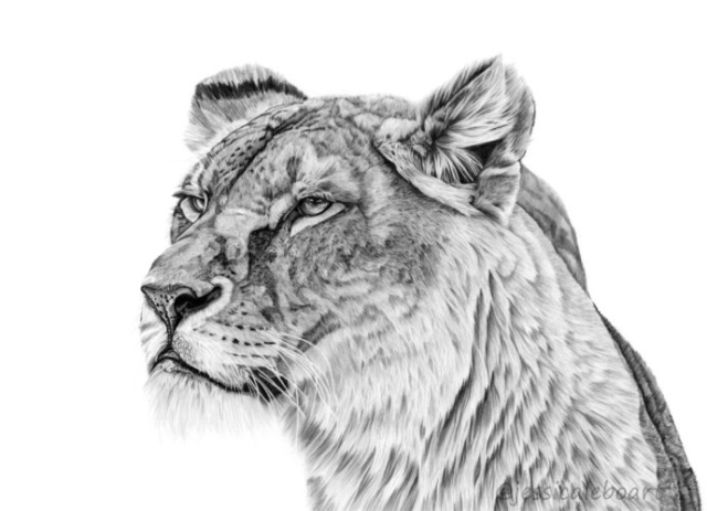 realistic animal drawing wildlife graphite pencil art