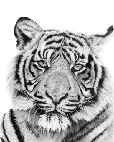 close up tiger drawing graphite pencil big cat animal art