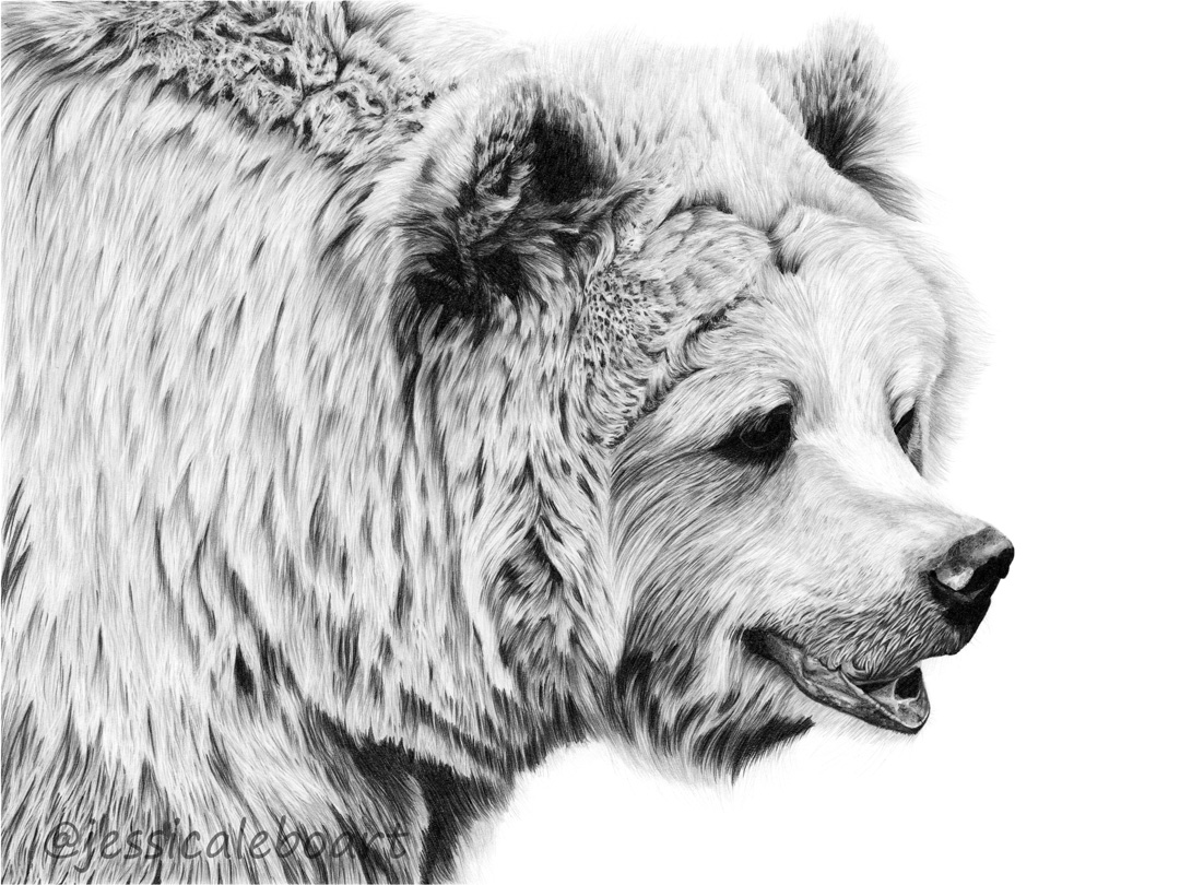 animal art graphite pencil bear drawing
