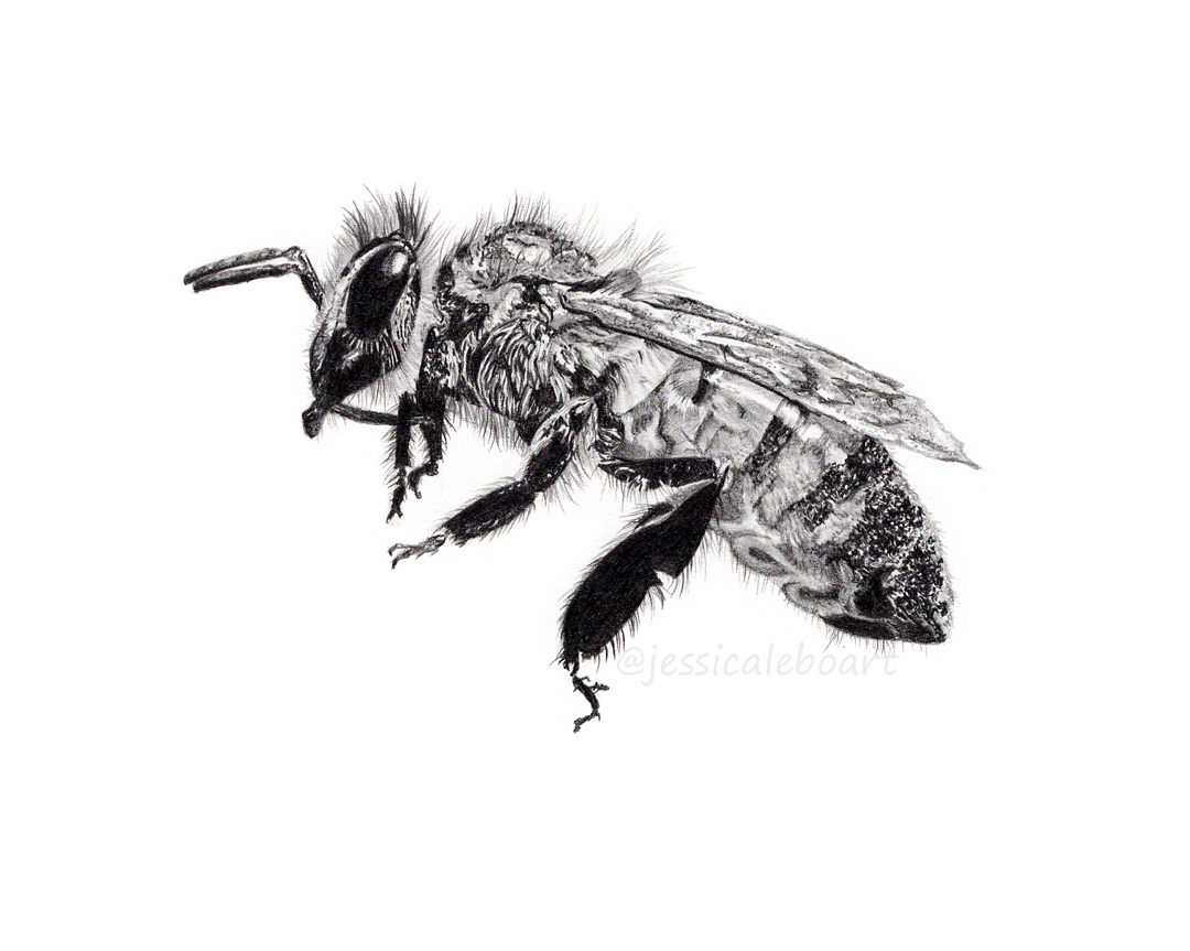 realistic graphite pencil drawing bee