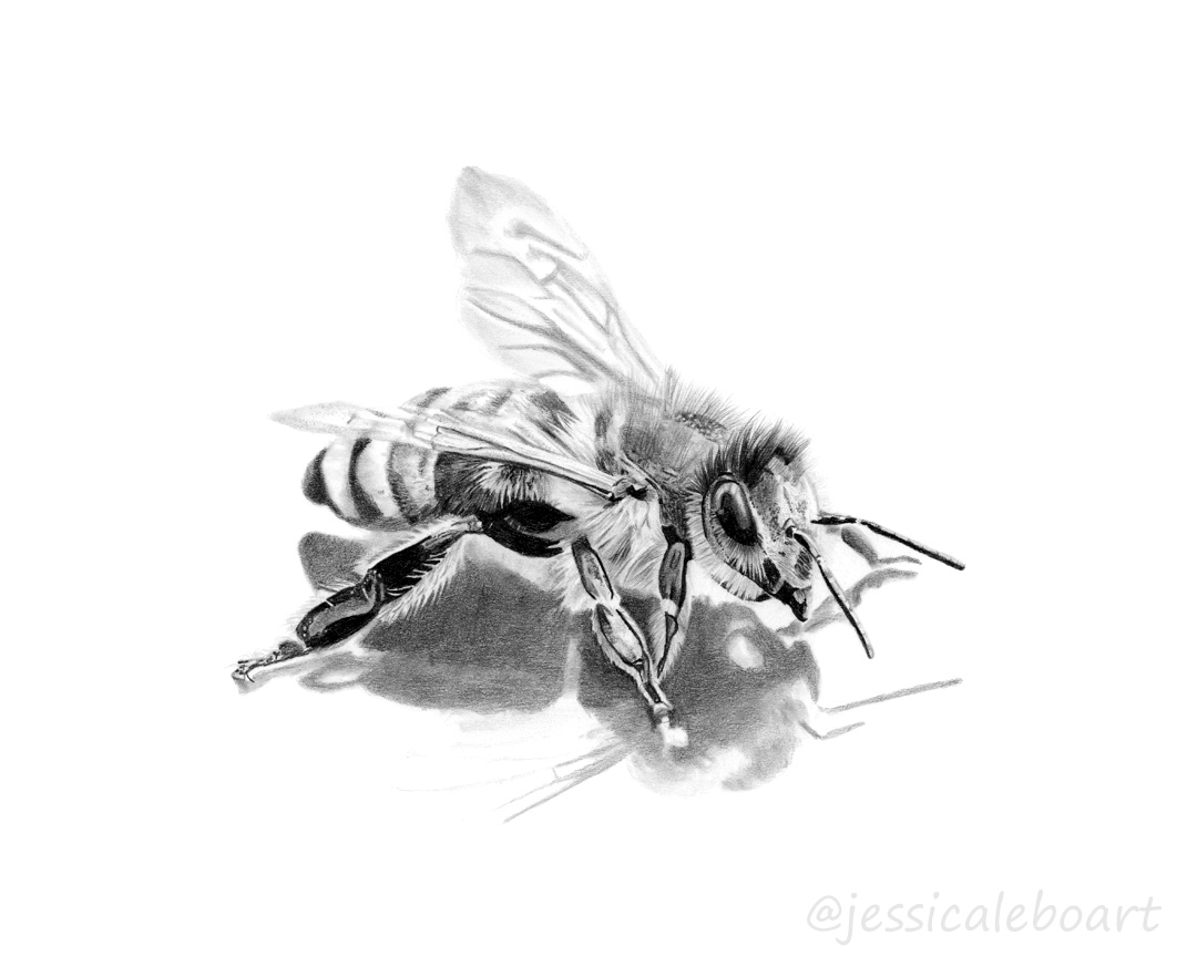 graphite pencil bee drawing
