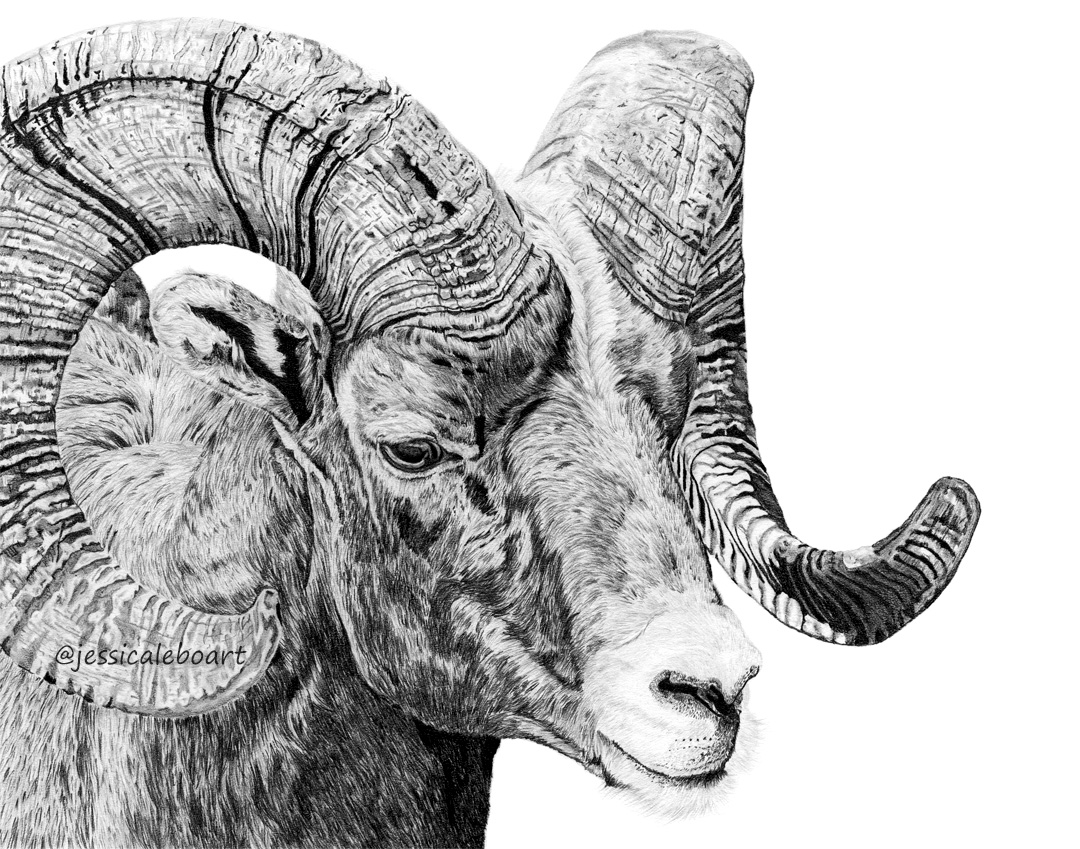 fine art graphite pencil bighorn sheep drawing