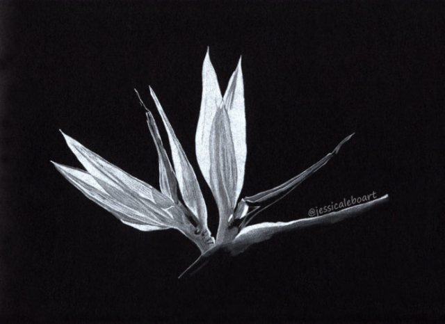 colored pencil drawing on black paper flower bird of paradise