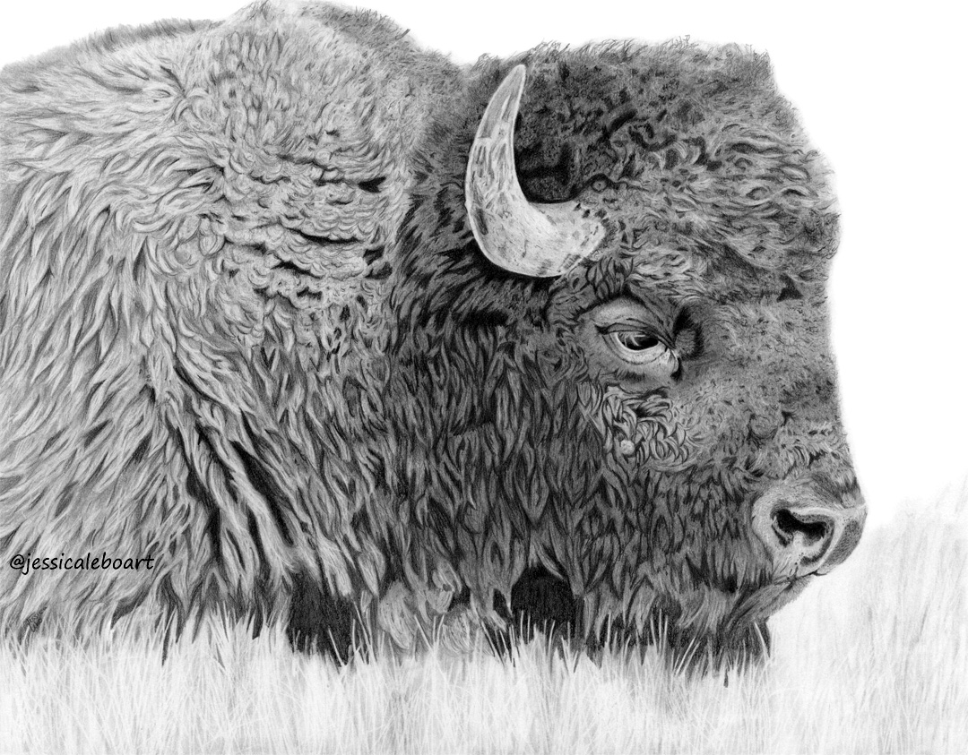 fine art graphite pencil drawing animal bison buffalo