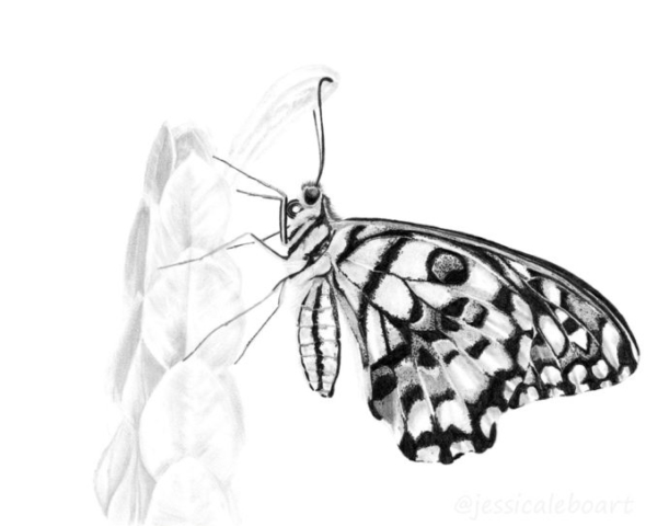 graphite pencil butterfly drawing black and white art