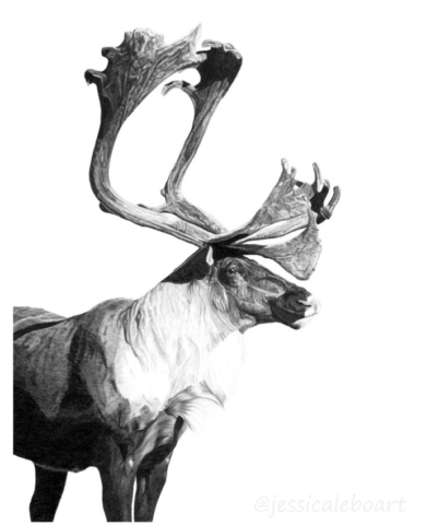animal art graphite pencil animal caribou reindeer drawing