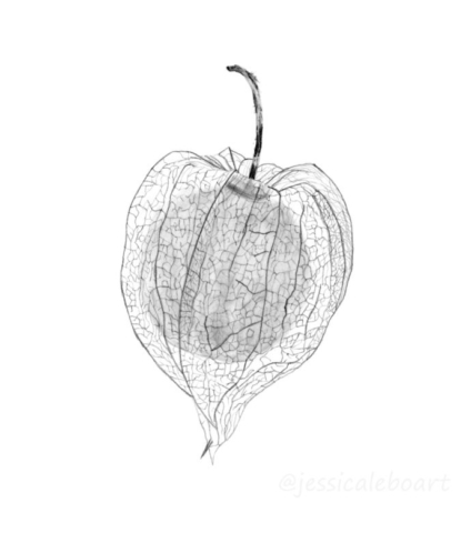 flower pencil drawing chinese lantern sketch