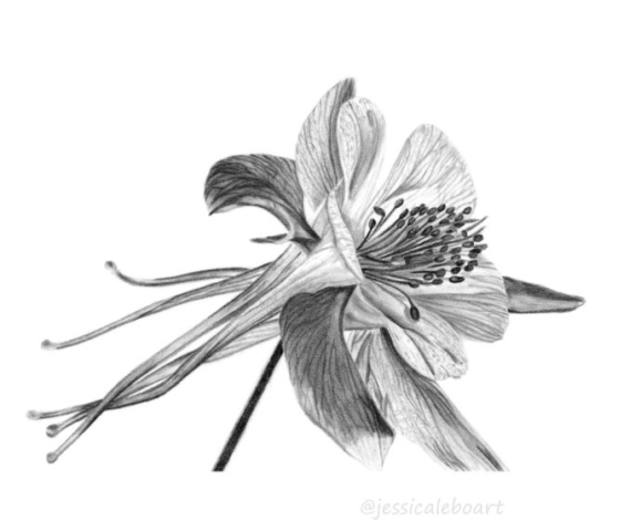pencil flower drawing columbine graphite