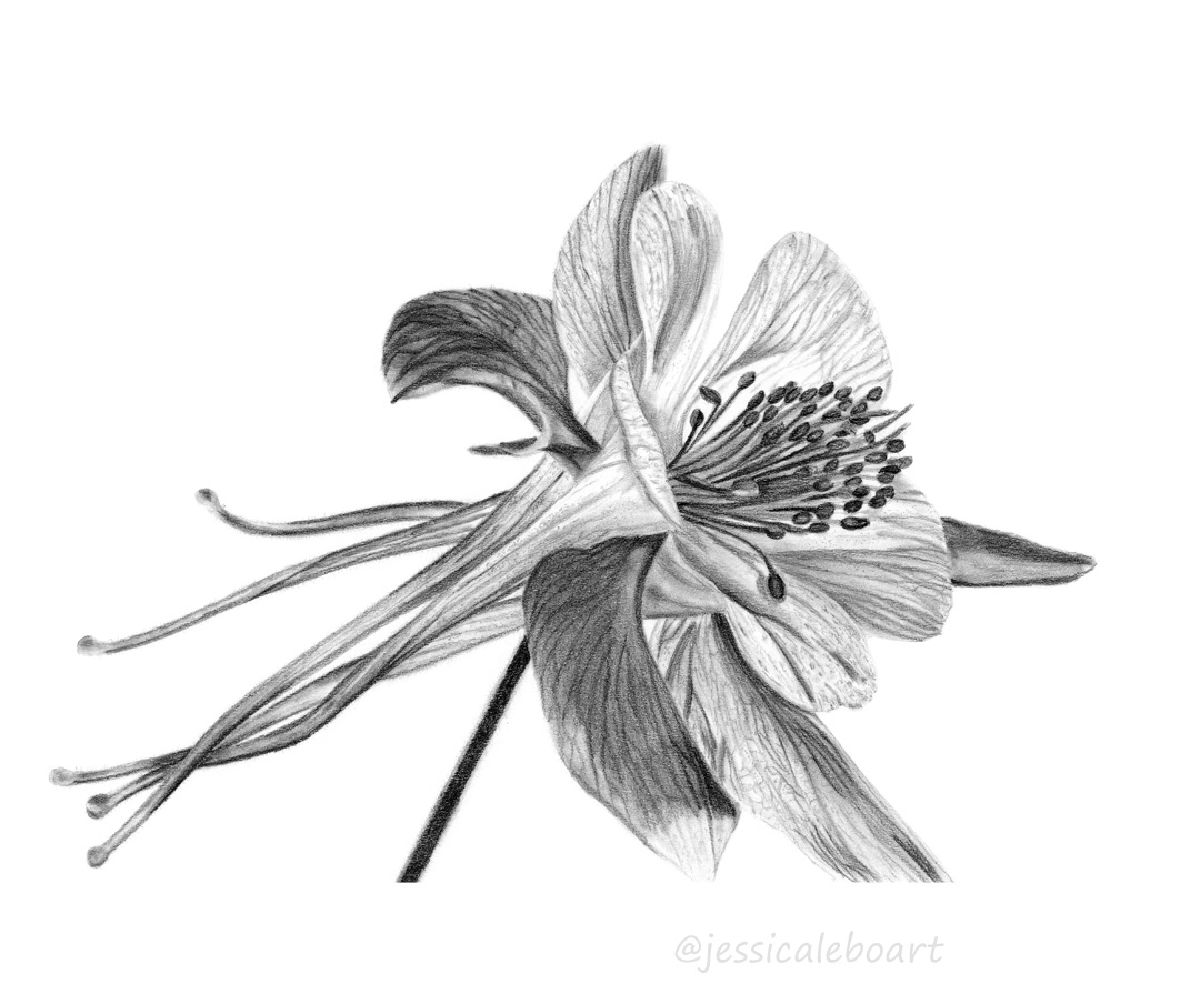 columbine graphite pencil flower drawing