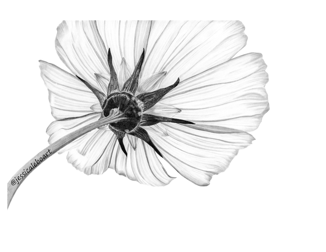 fine art cosmo flower graphite pencil drawing