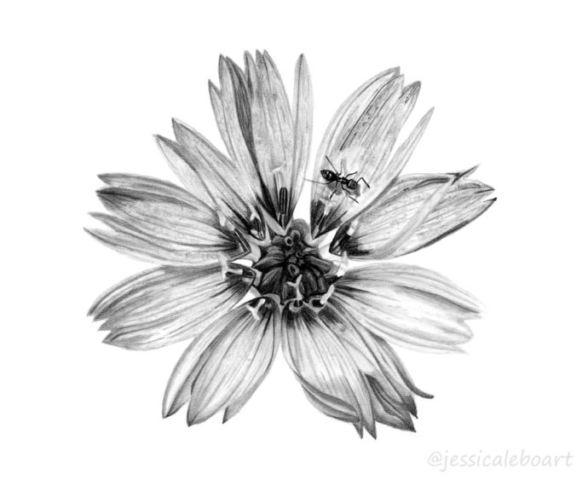graphite pencil flower drawing cupids dart