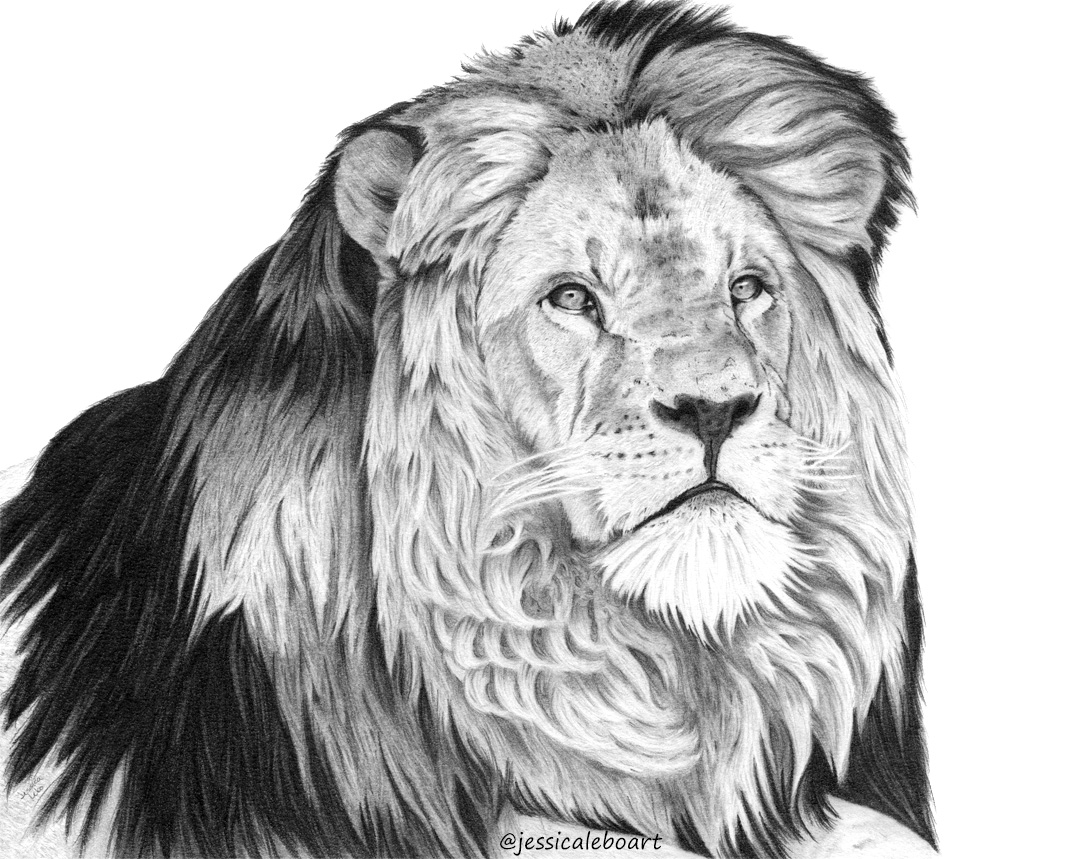 fine art graphite pencil drawing animal curly hair lion