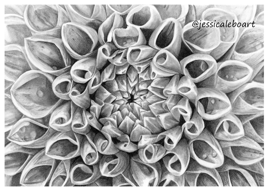 graphite pencil drawing flower dahila