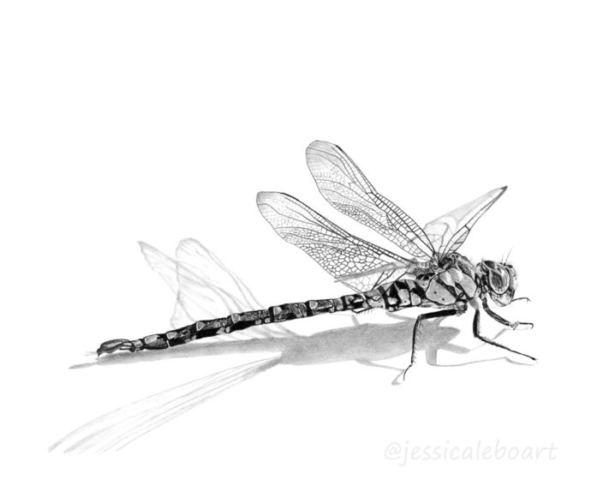graphite pencil dragonfly drawing insect art