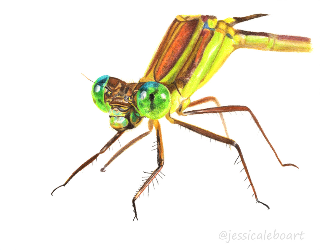 insect drawing colored pencil dragonfly
