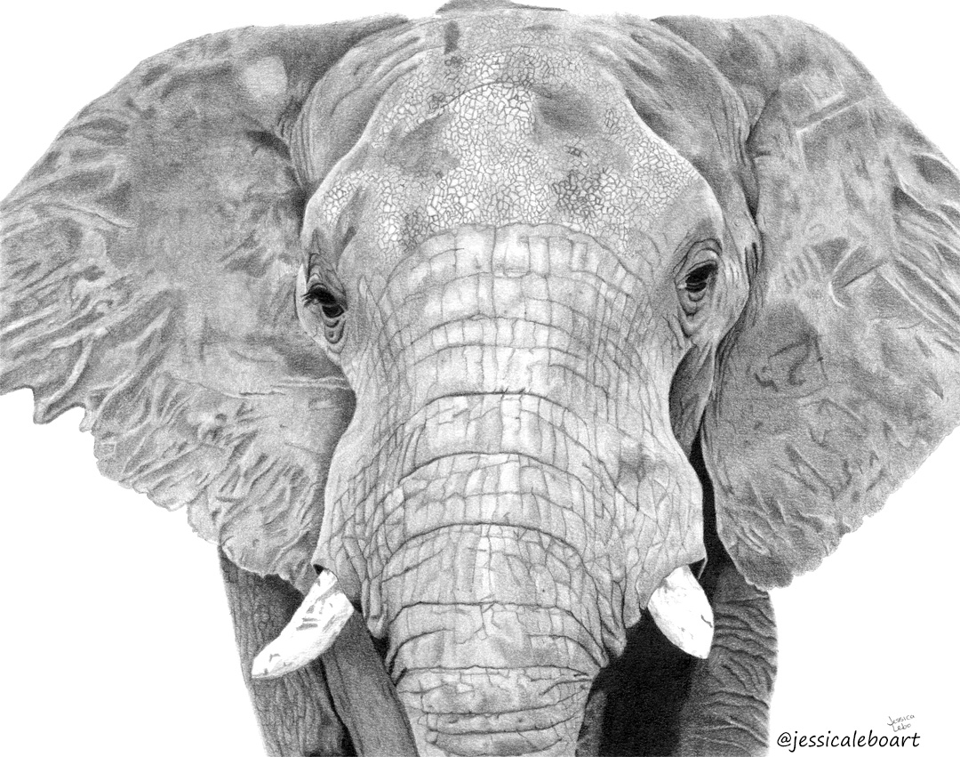 fine art graphite pencil animal drawing elephant