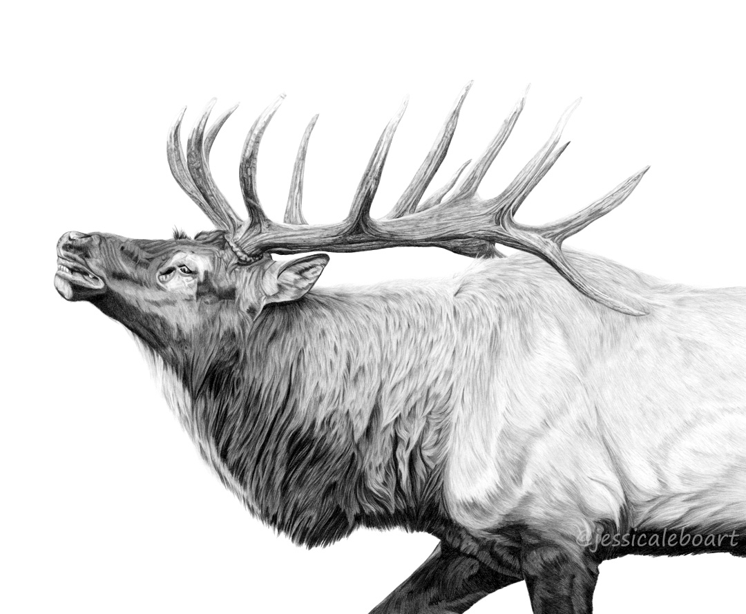 animal art graphite pencil realism elk drawing for next ridge apparel company