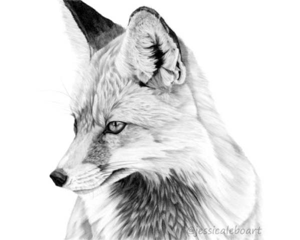 graphite pencil fox drawing animal art