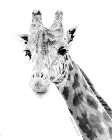 fine art graphite pencil animal drawing giraffe