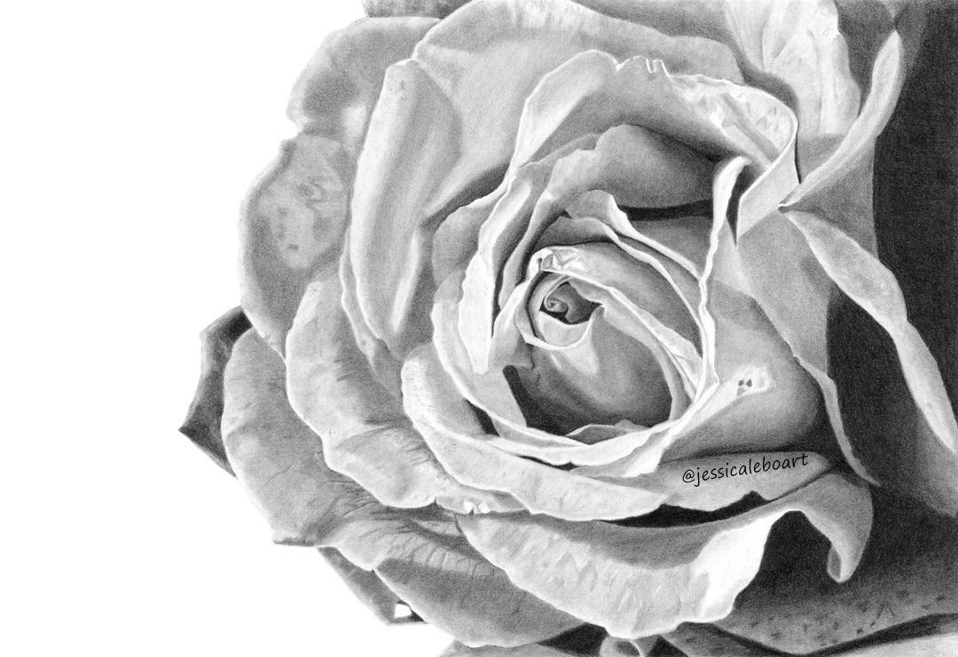 fine art graphite pencil drawing flower rose