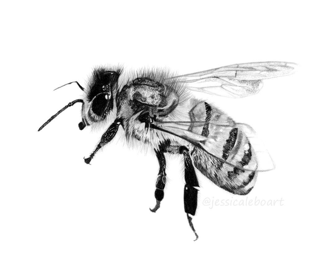animal art insect drawing bee graphite pencil fine artwork