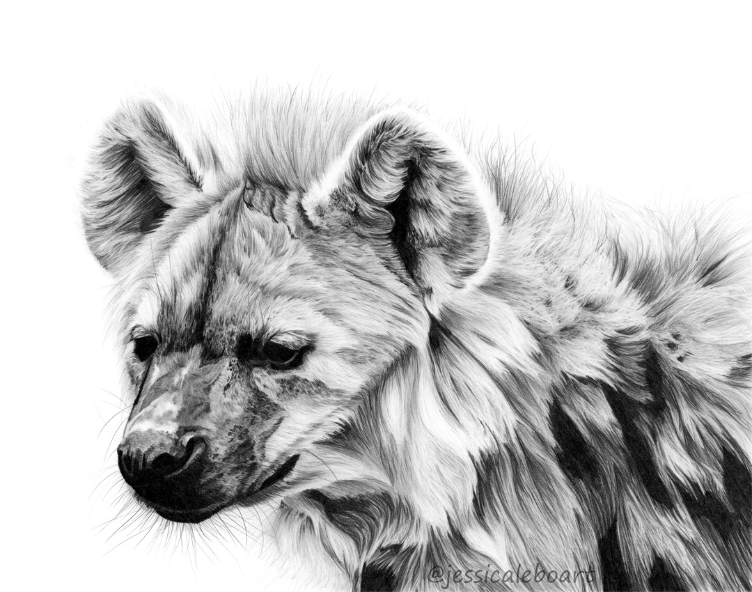 graphite pencil hyena drawing african animals art