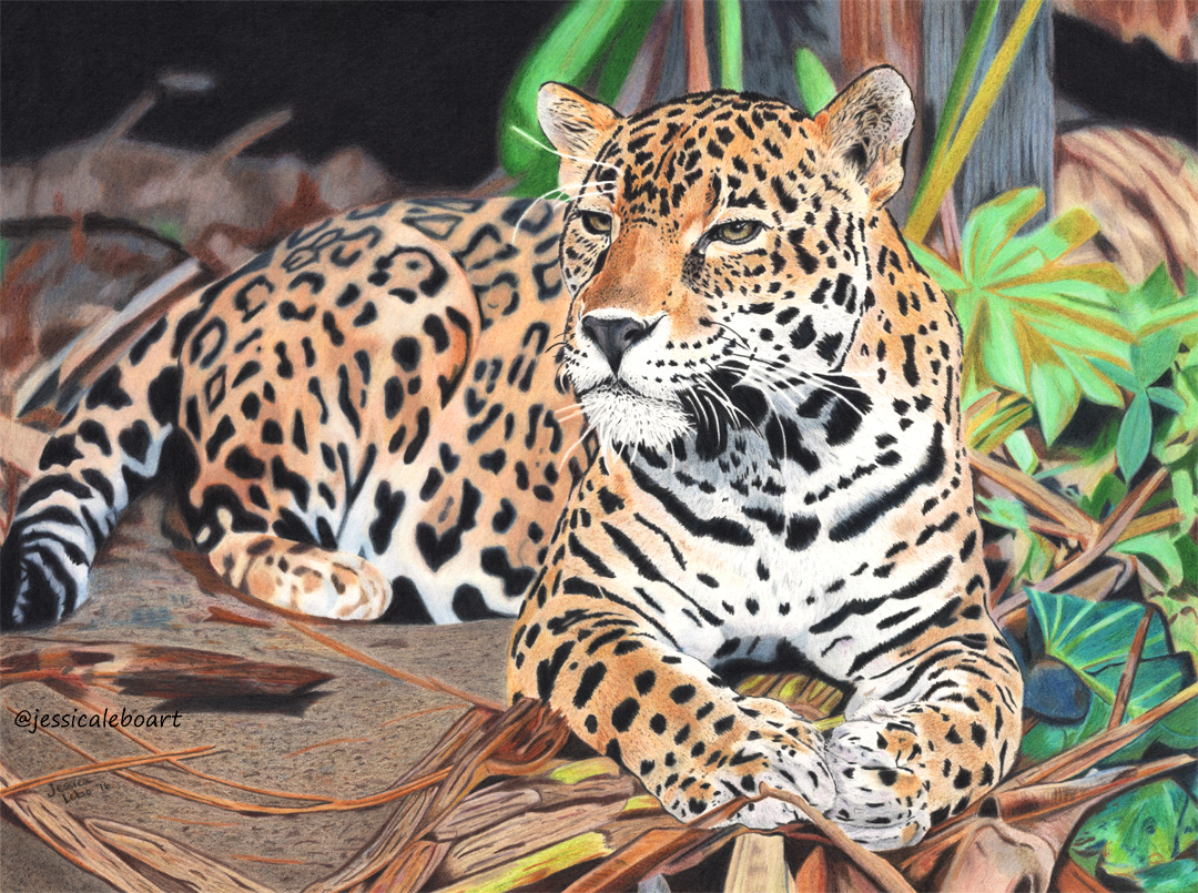 fine art colored pencil animal drawing jaguar