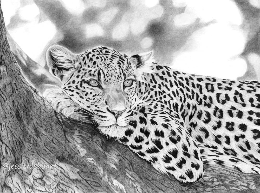 fine art graphite pencil drawing animal leopard in tree