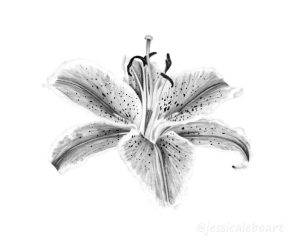 flower drawing graphite pencil lily