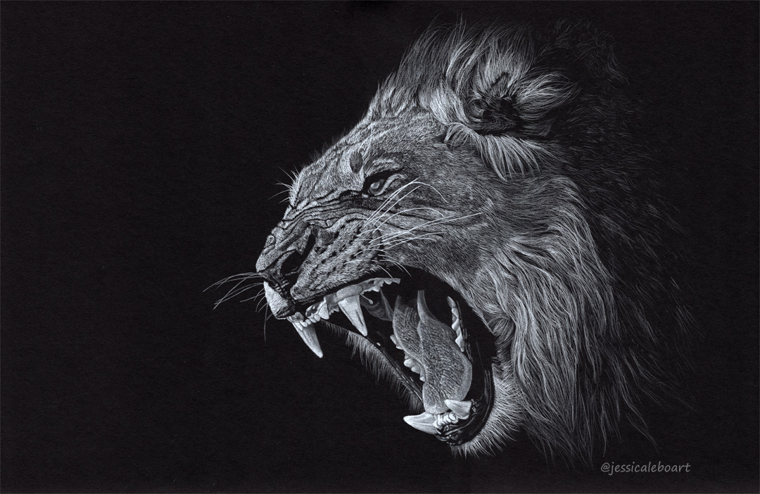 fine art colored pencil drawing on black paper angry growling lion
