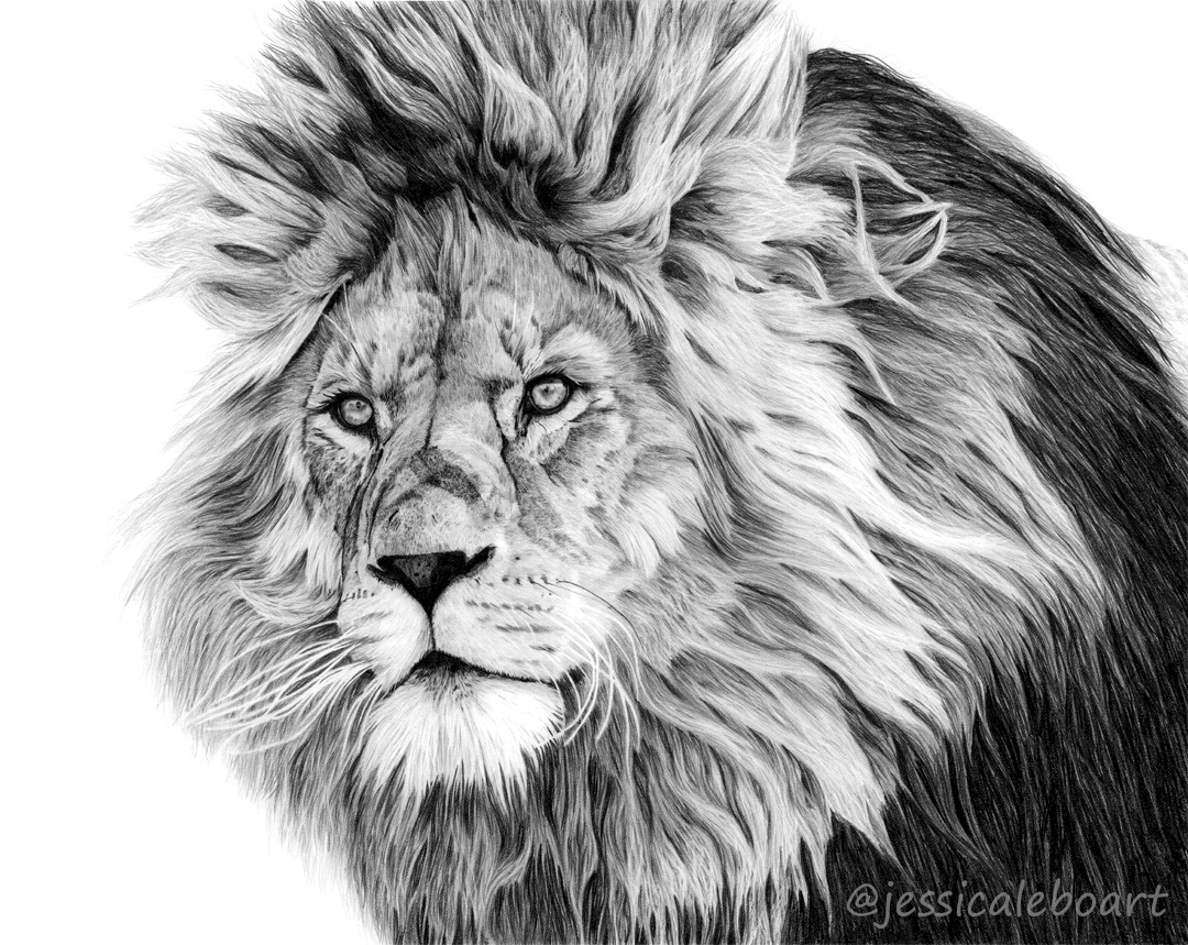 animal art lion big cat graphite pencil drawing