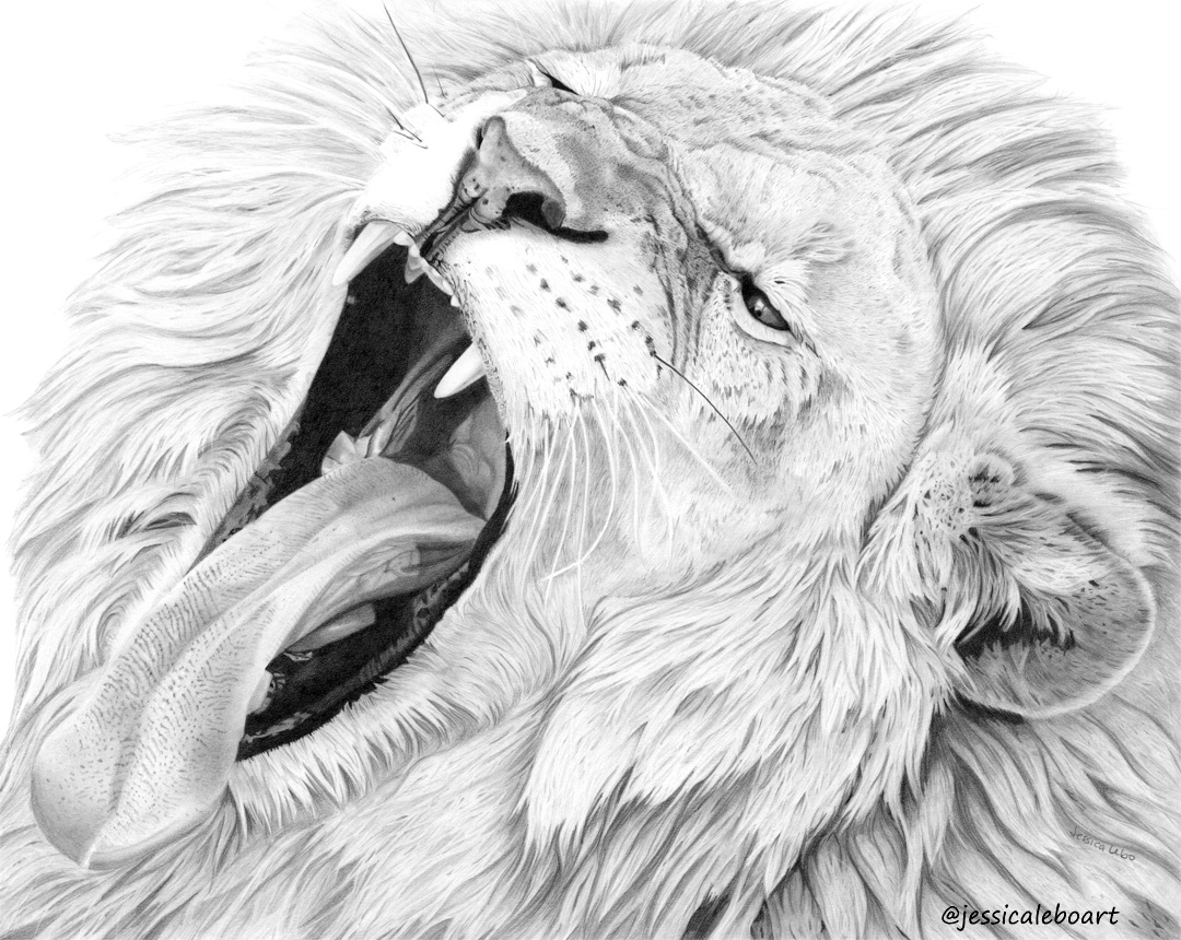 fine art graphite pencil drawing animal lion yawning