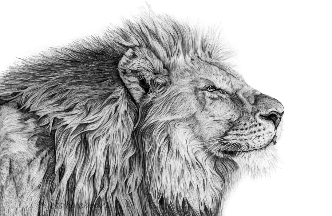 graphite pencil lion drawing realistic art