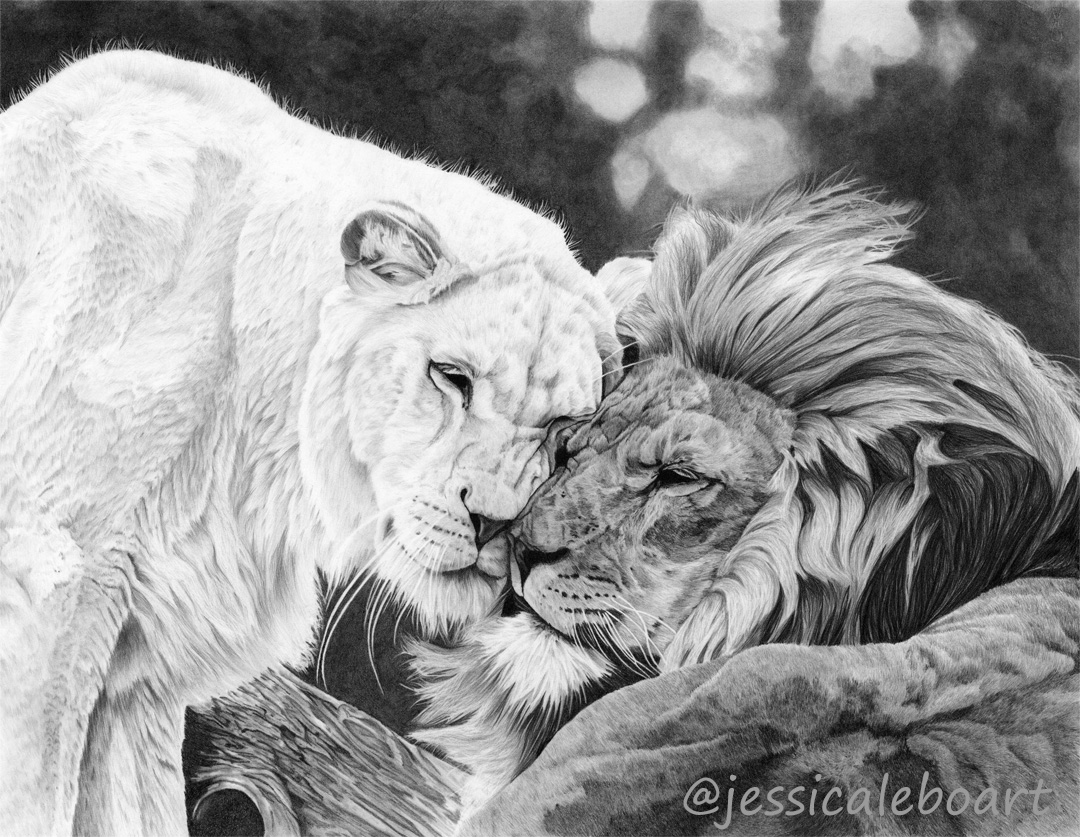graphite pencil lion couple drawing african animals art