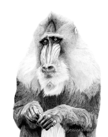 graphite pencil wildlife drawing monkey artwork