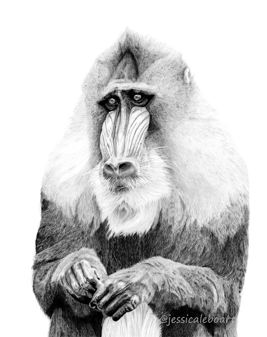 realistic pencil drawing mandrill