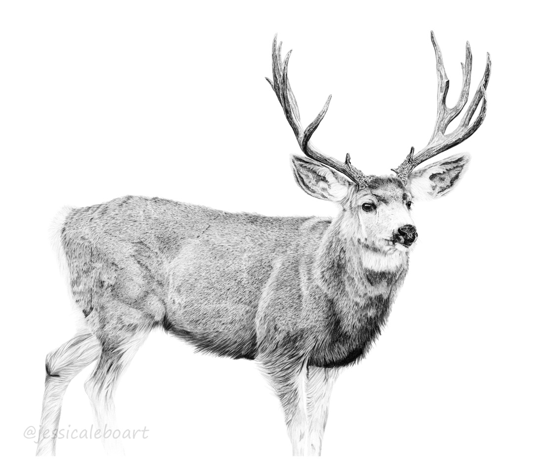 wildlife art realism graphite drawing
