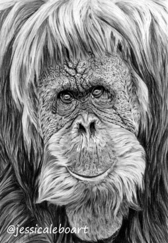 animal art graphite pencil orangutan drawing closeup monkey artwork