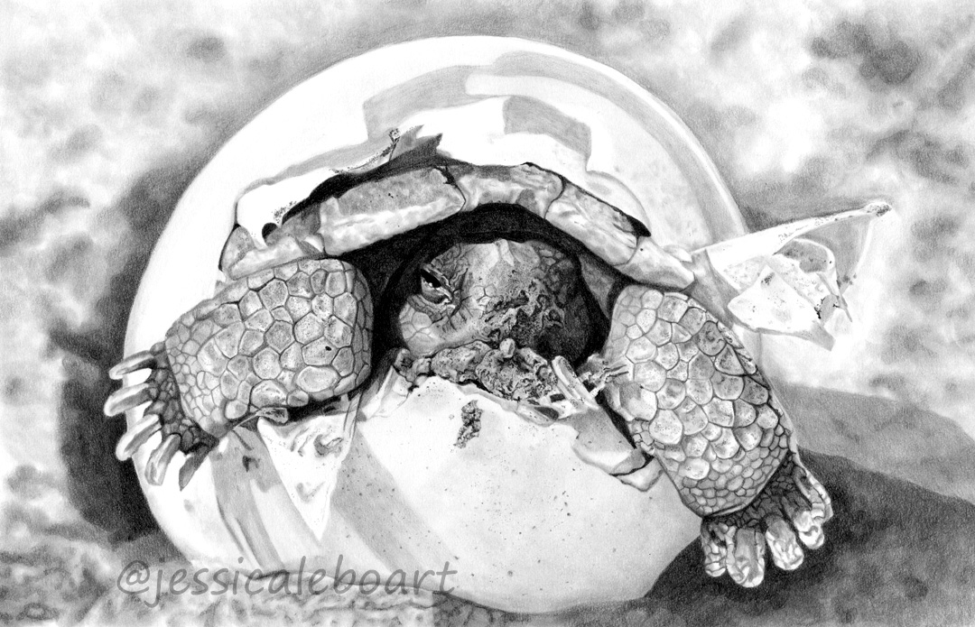 baby sea turtle tortoise in shell graphite pencil animal drawing