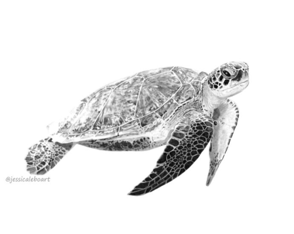 fine art graphite pencil animal drawing sea turtle