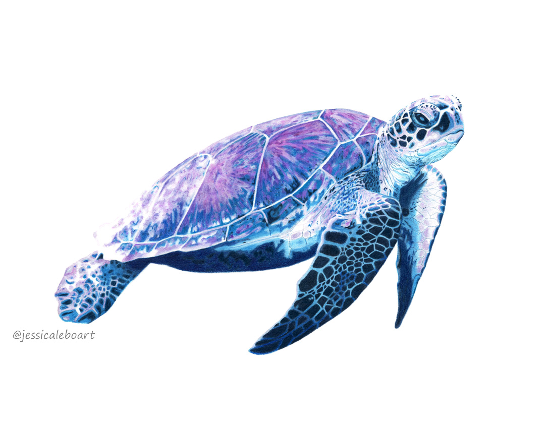 fine art colored pencil drawing animal sea turtle purple and blue