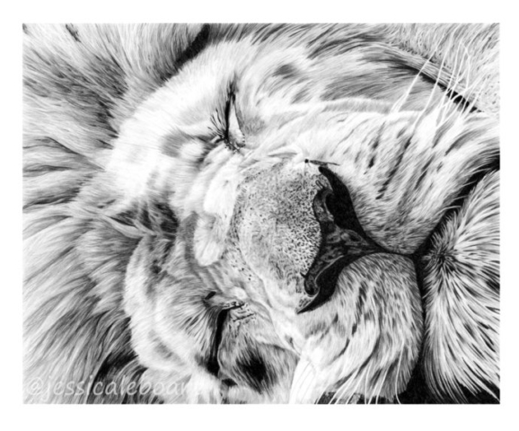 animal art graphite pencil realism drawing sleeping male lion
