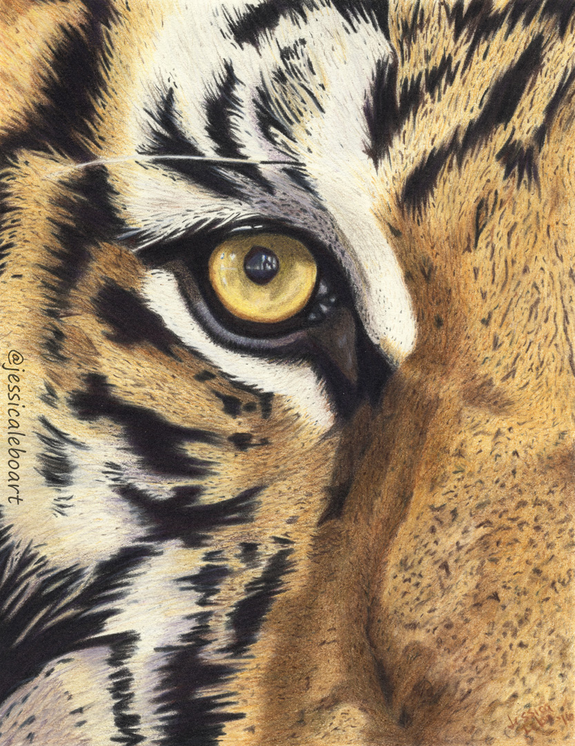 fine art colored pencil drawing animal close up tiger eye