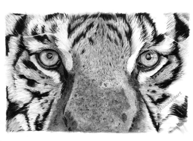 fine art close up graphite pencil drawing animal tiger eyes